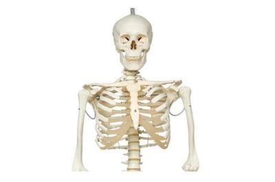 Скелет анатомический Ekomed 180 см