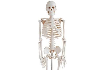 Скелет анатомический Ekomed 84 см