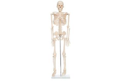 Скелет медицинский Ekomed 42 см