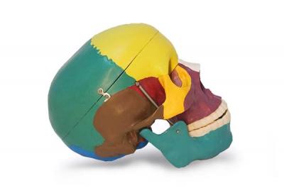 Череп учебный анатомический Ekomed цветной