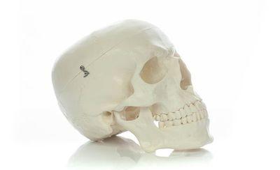 Череп учебный анатомический Ekomed белый